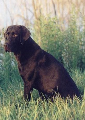 BAYOU LABRADORS: Top Quality Chocolate Labrador Retrievers