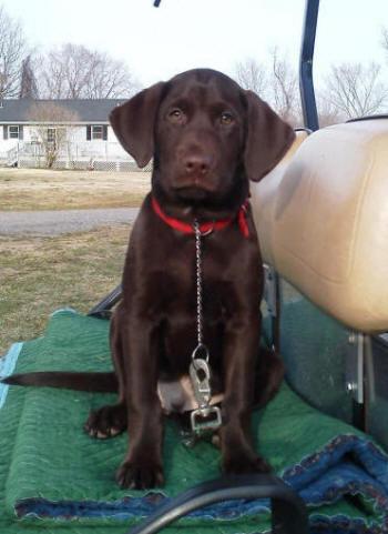 Chocolate labrador puppies houston